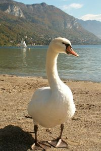 photographie_annecy_cygne5